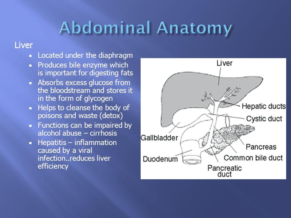 Abdominal Anatomy Liver Located under the diaphragm