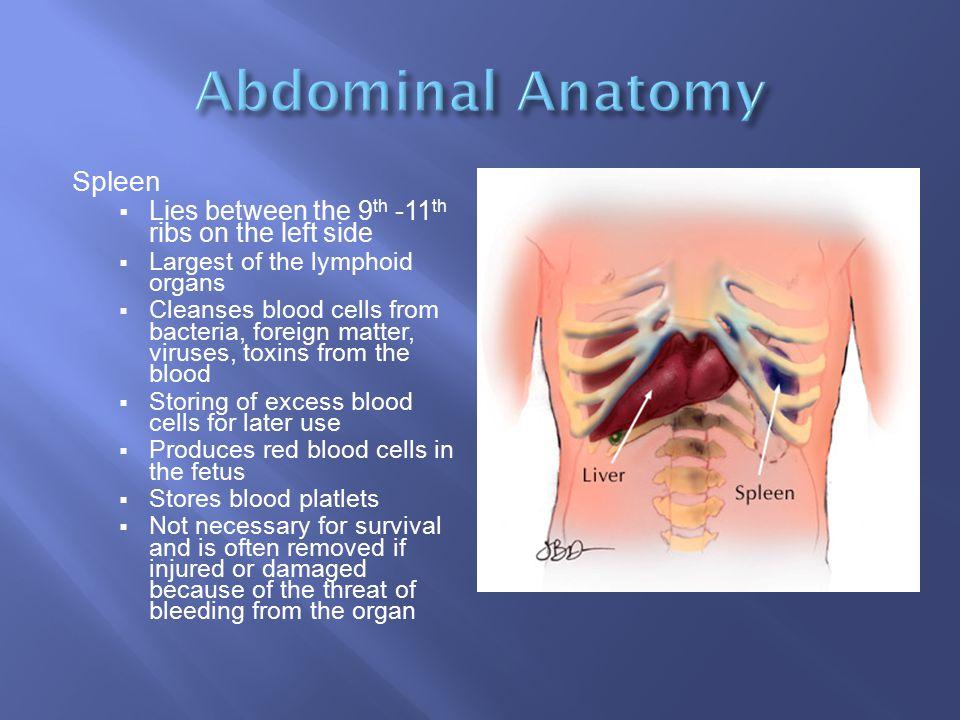 Abdominal Anatomy Spleen