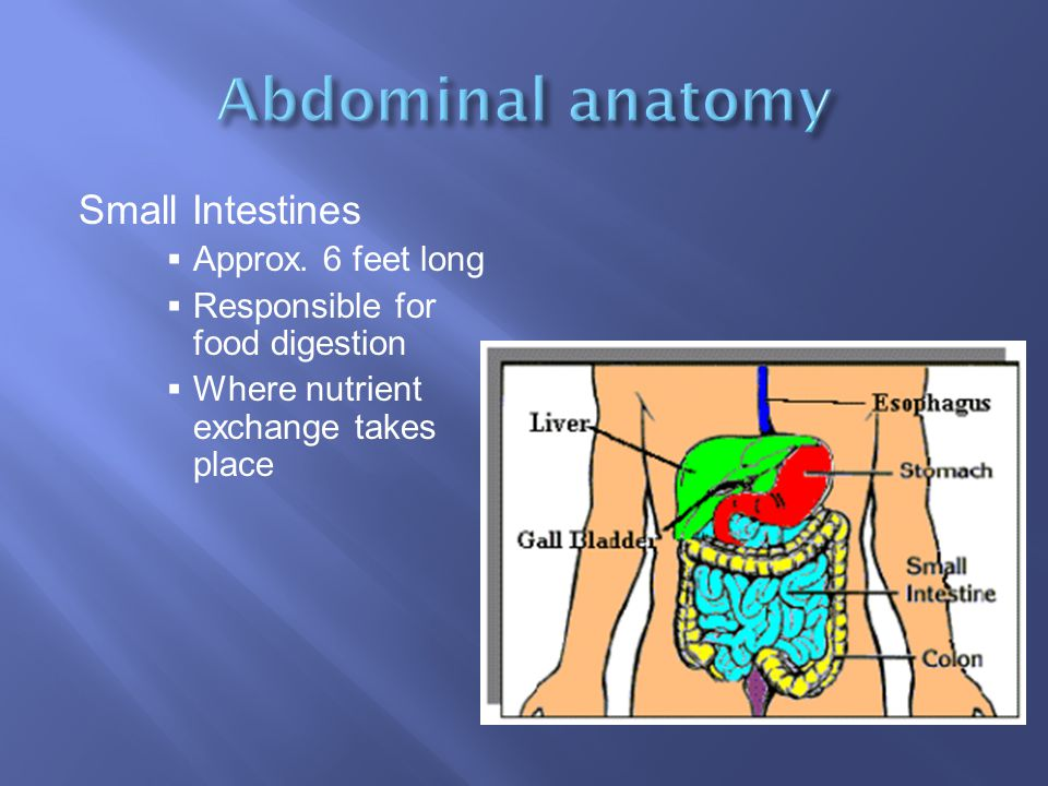Abdominal anatomy Small Intestines Approx. 6 feet long