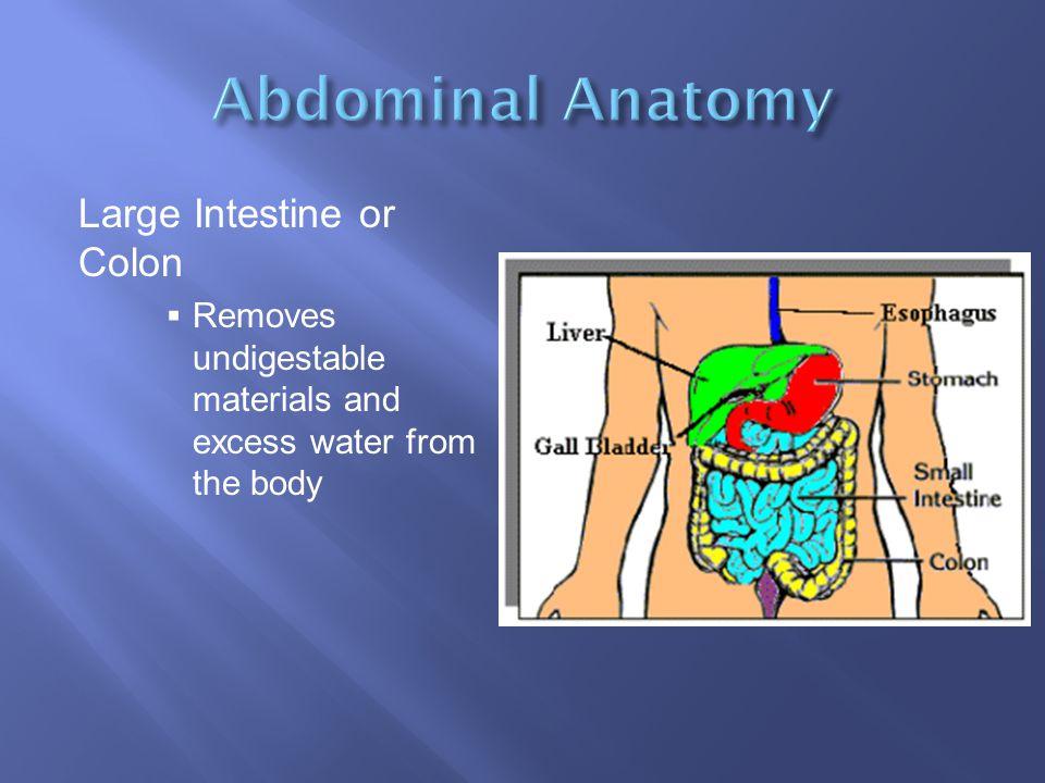 Abdominal Anatomy Large Intestine or Colon