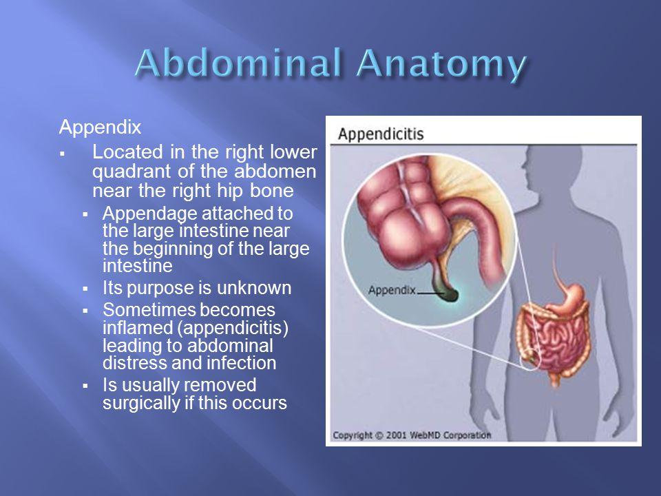 Abdominal Anatomy Appendix