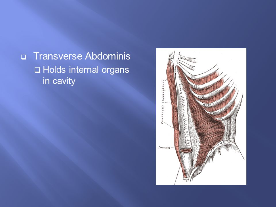 Transverse Abdominis Holds internal organs in cavity