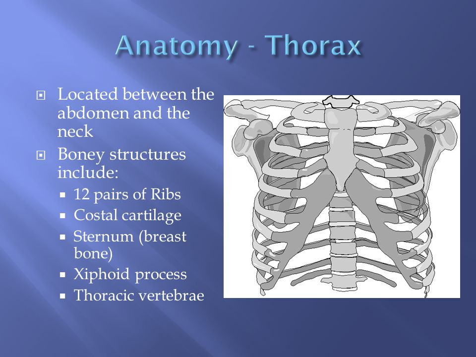 Anatomy - Thorax Located between the abdomen and the neck