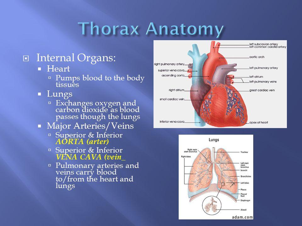 Thorax Anatomy Internal Organs: Heart Lungs Major Arteries/Veins