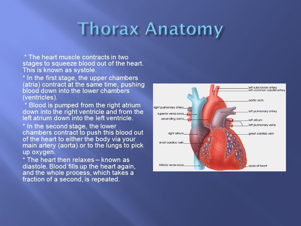 Thorax Anatomy * The heart muscle contracts in two stages to squeeze blood out of the heart. This is known as systole.