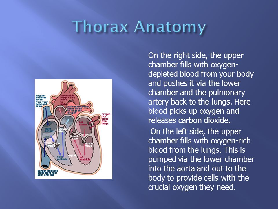 Thorax Anatomy Ppt 476389 Togelmayafo