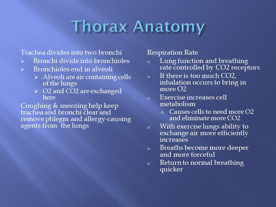 Thorax Anatomy Trachea divides into two bronchi