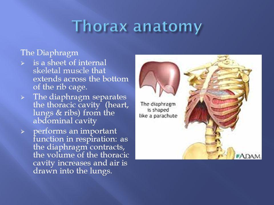 Thorax anatomy The Diaphragm