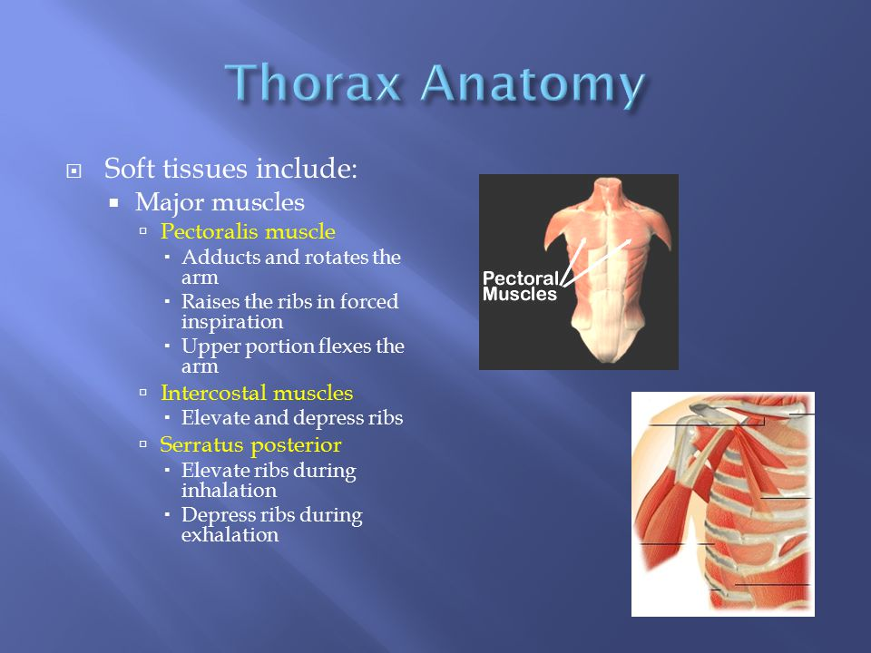 Thorax Anatomy Soft tissues include: Major muscles Pectoralis muscle
