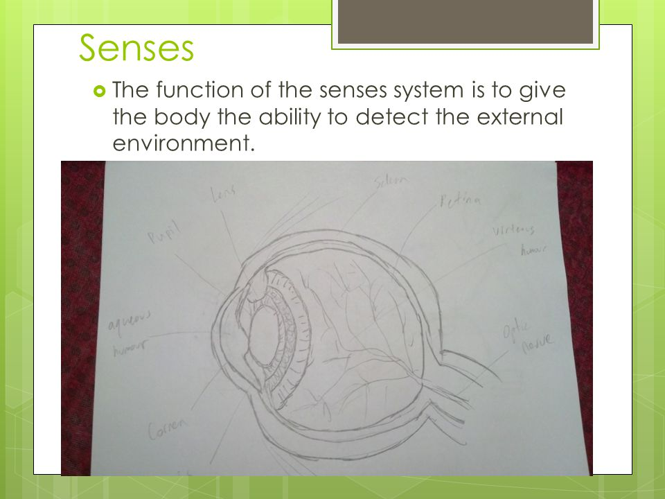 Senses The function of the senses system is to give the body the ability to detect the external environment.