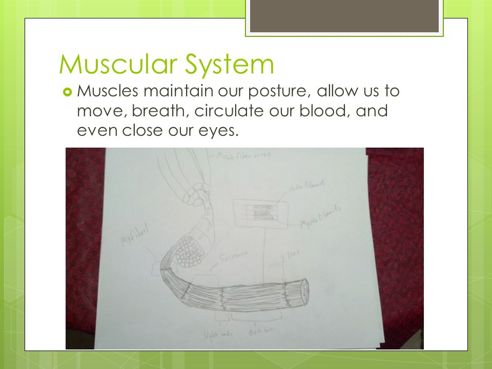 Muscular System Muscles maintain our posture, allow us to move, breath, circulate our blood, and even close our eyes.