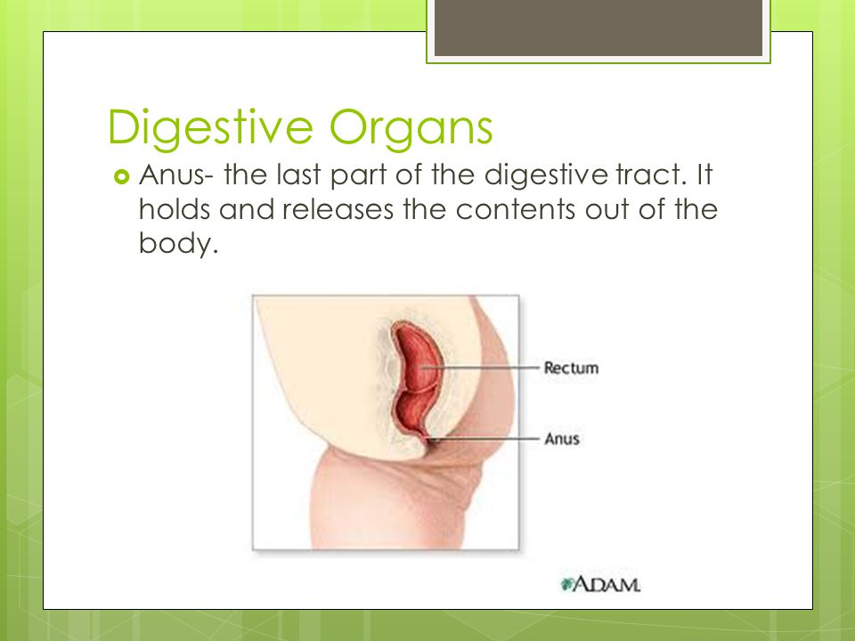 Digestive Organs Anus- the last part of the digestive tract.