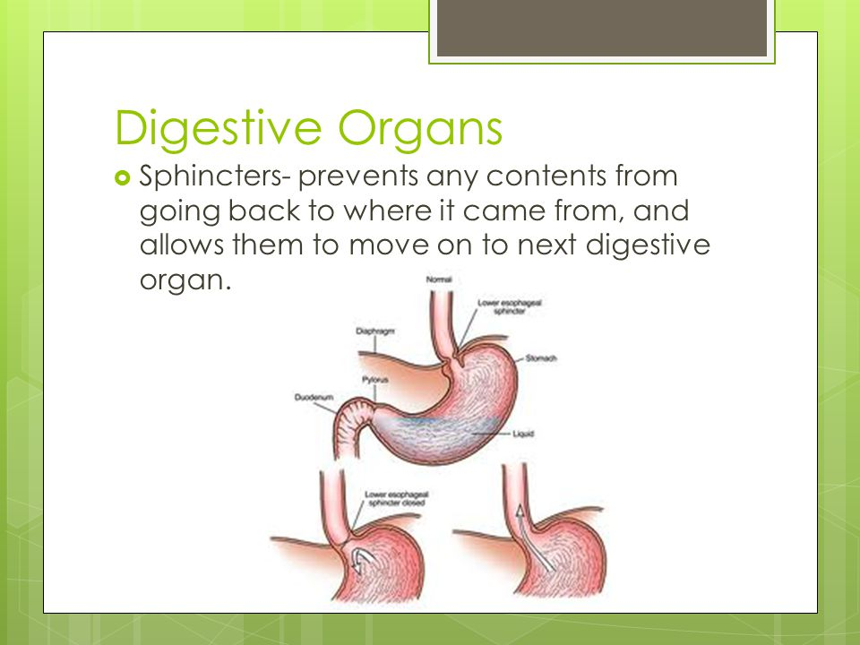 Digestive Organs Sphincters- prevents any contents from going back to where it came from, and allows them to move on to next digestive organ.