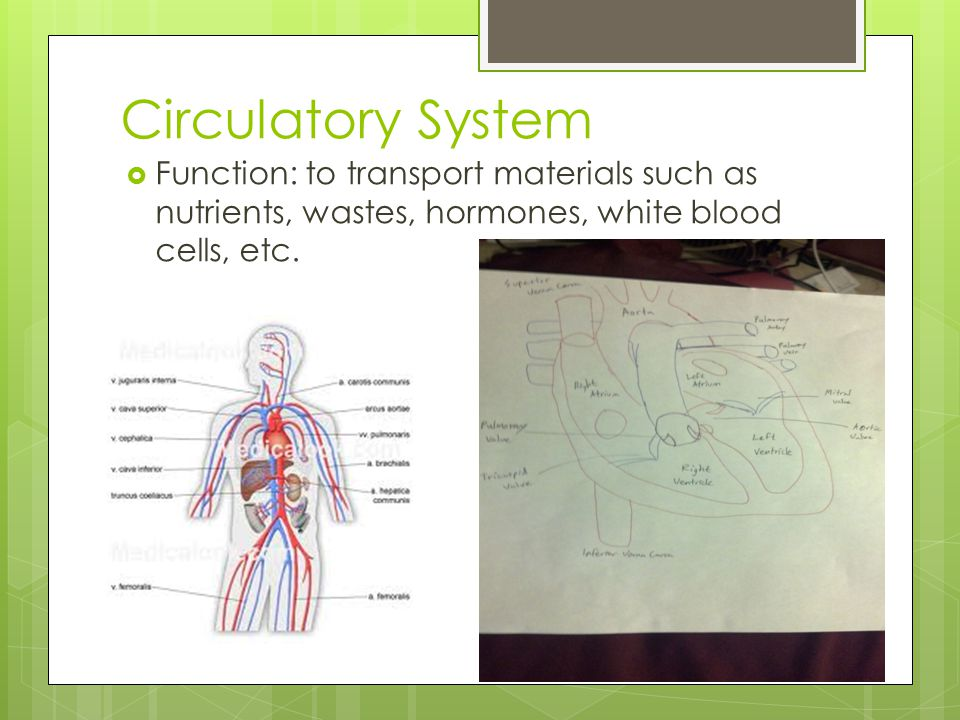 Circulatory System Function: to transport materials such as nutrients, wastes, hormones, white blood cells, etc.