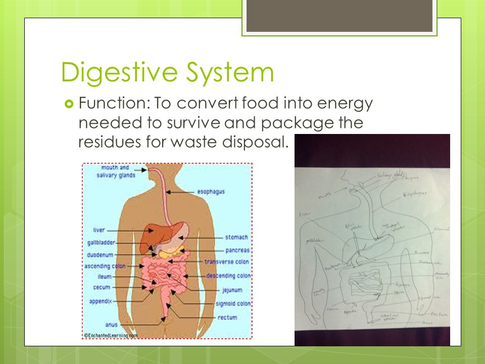 Digestive System Function: To convert food into energy needed to survive and package the residues for waste disposal.