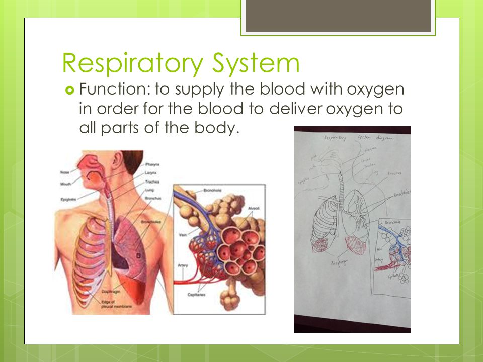 Respiratory System Function: to supply the blood with oxygen in order for the blood to deliver oxygen to all parts of the body.