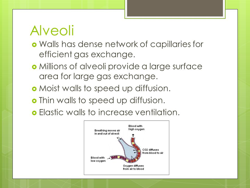Alveoli Walls has dense network of capillaries for efficient gas exchange. Millions of alveoli provide a large surface area for large gas exchange.