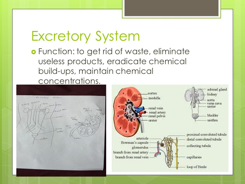 Excretory System Function: to get rid of waste, eliminate useless products, eradicate chemical build-ups, maintain chemical concentrations.
