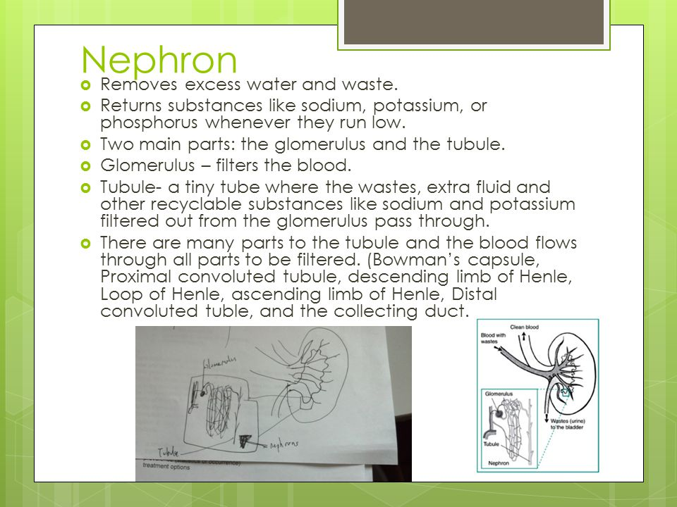 Nephron Removes excess water and waste.