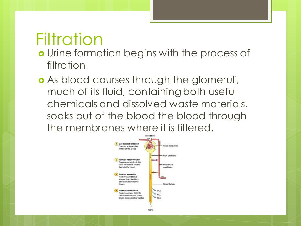 Filtration Urine formation begins with the process of filtration.