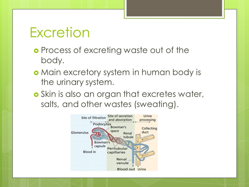Excretion Process of excreting waste out of the body.