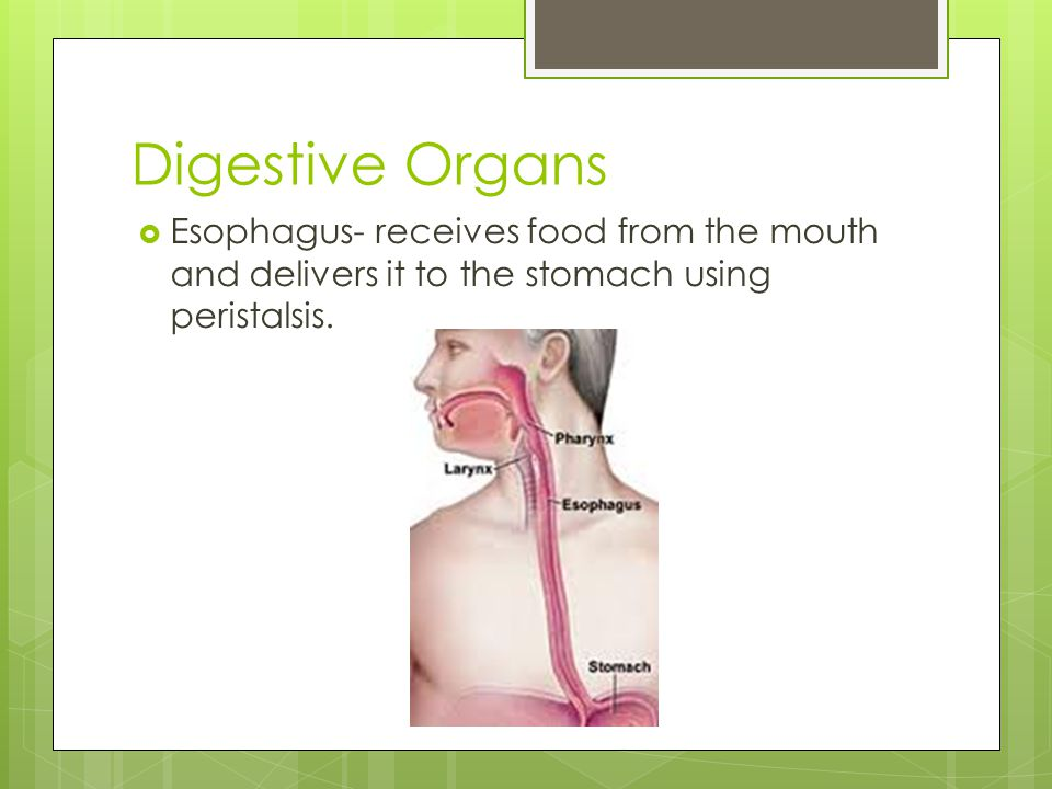 Digestive Organs Esophagus- receives food from the mouth and delivers it to the stomach using peristalsis.
