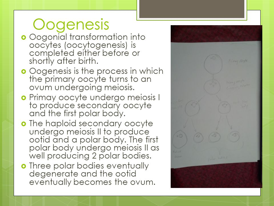 Oogenesis Oogonial transformation into oocytes (oocytogenesis) is completed either before or shortly after birth.