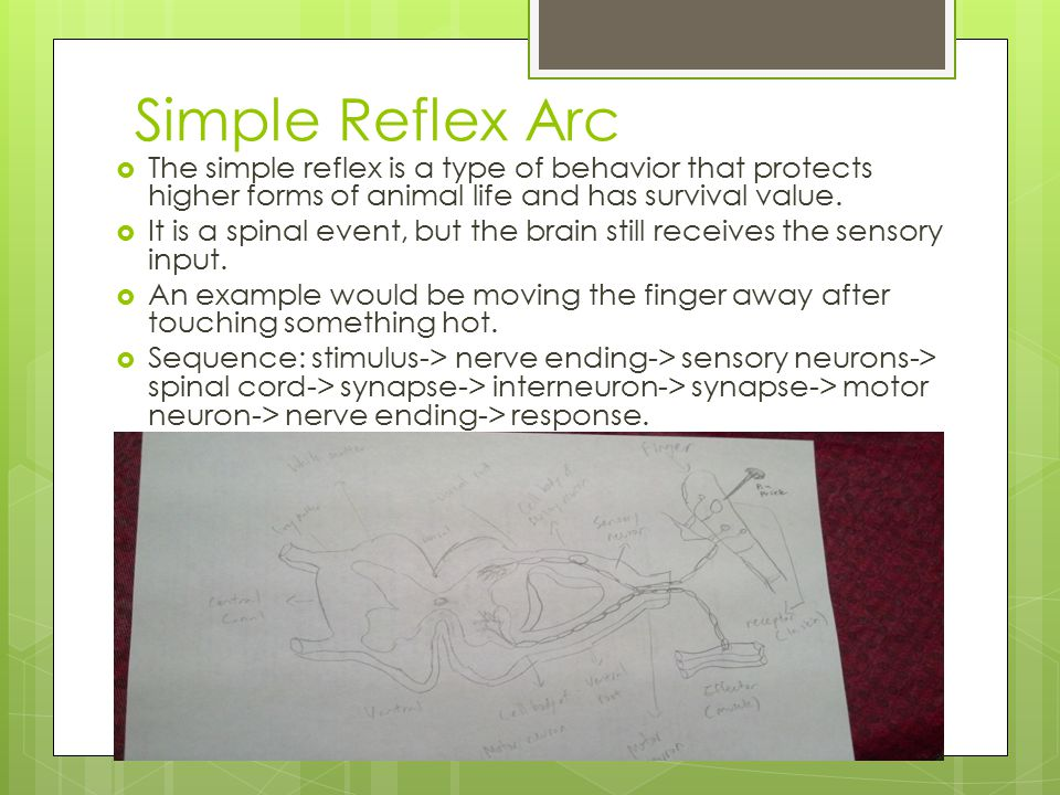 Simple Reflex Arc The simple reflex is a type of behavior that protects higher forms of animal life and has survival value.