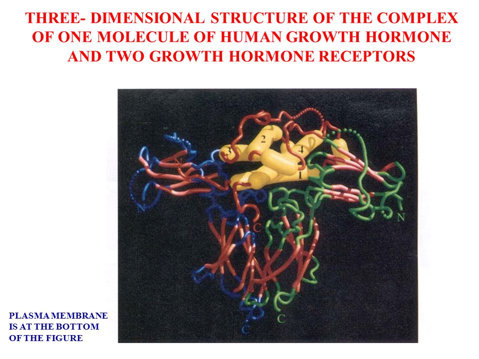 THREE- DIMENSIONAL STRUCTURE OF THE COMPLEX OF ONE MOLECULE OF HUMAN GROWTH HORMONE AND TWO GROWTH HORMONE RECEPTORS