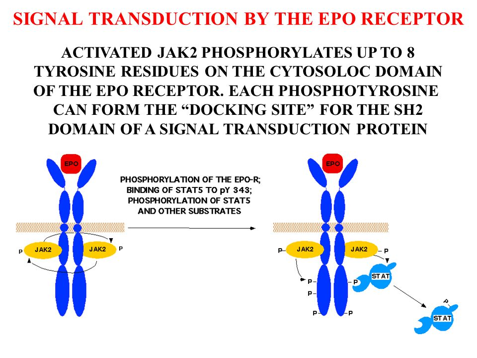 SIGNAL TRANSDUCTION BY THE EPO RECEPTOR