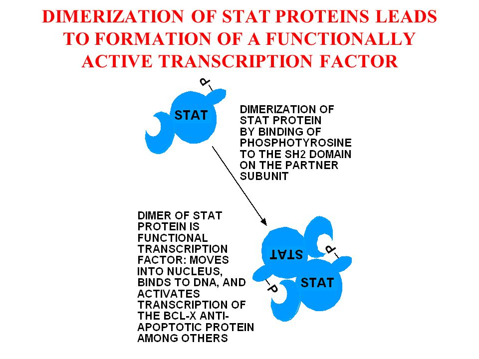 DIMERIZATION OF STAT PROTEINS LEADS TO FORMATION OF A FUNCTIONALLY ACTIVE TRANSCRIPTION FACTOR