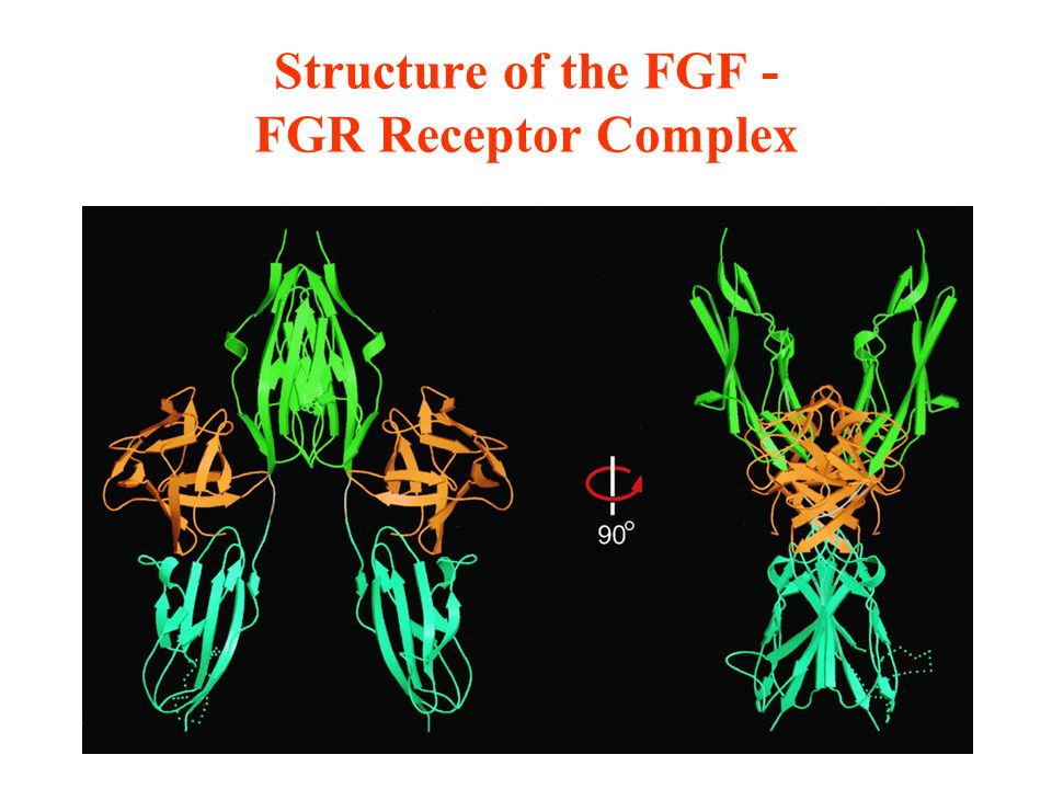 Structure of the FGF - FGR Receptor Complex