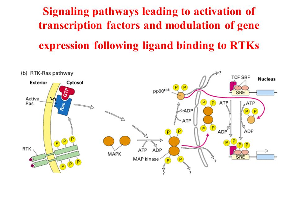 Signaling pathways leading to activation of transcription factors and modulation of gene expression following ligand binding to RTKs