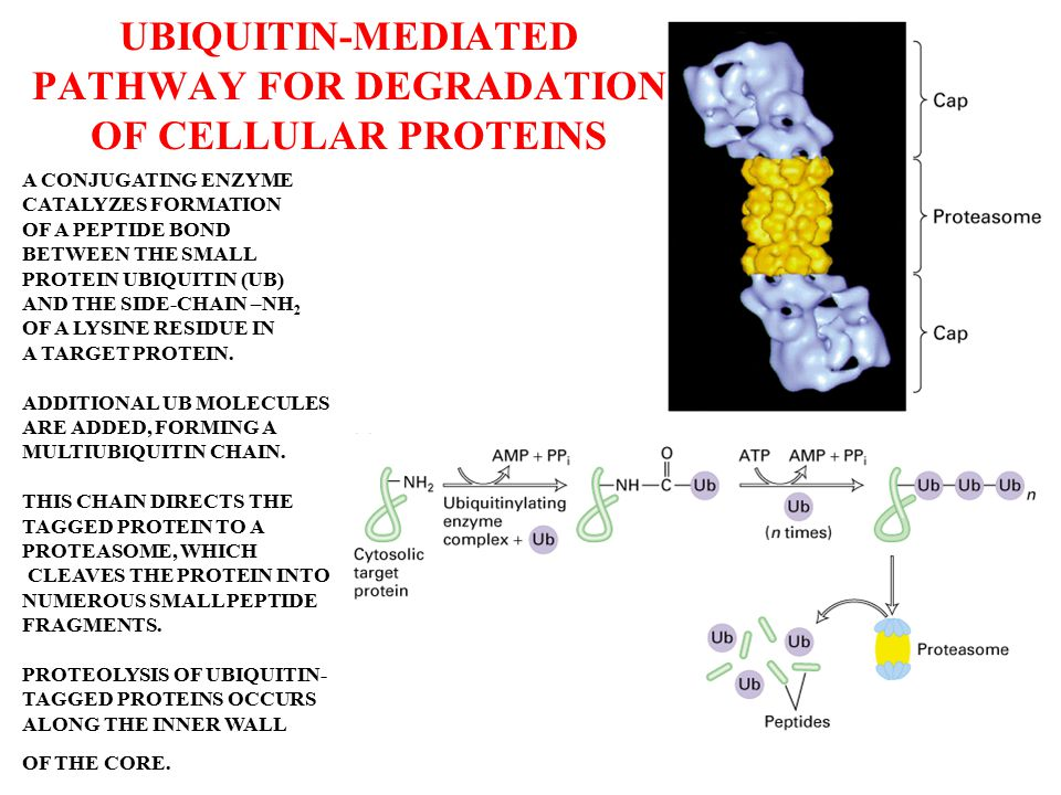 UBIQUITIN-MEDIATED PATHWAY FOR DEGRADATION OF CELLULAR PROTEINS