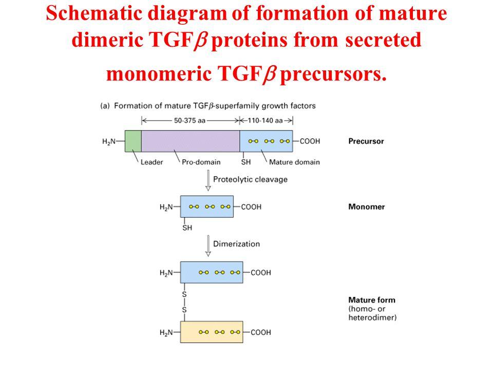 Schematic diagram of formation of mature dimeric TGFb proteins from secreted monomeric TGFb precursors.