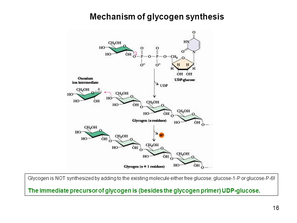 Mechanism of glycogen synthesis