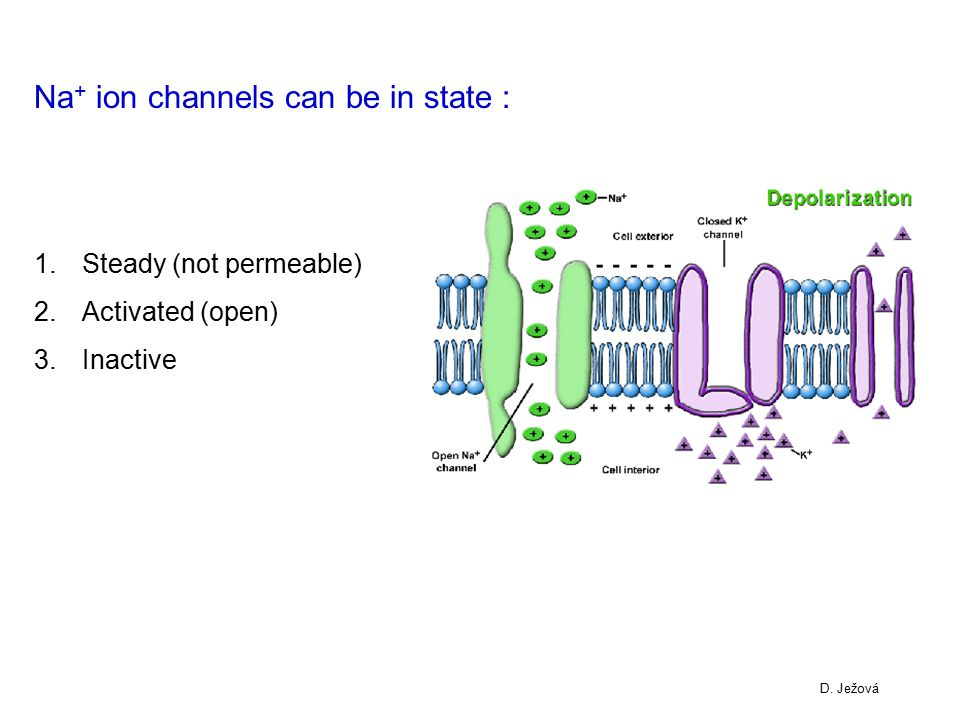 Na+ ion channels can be in state :