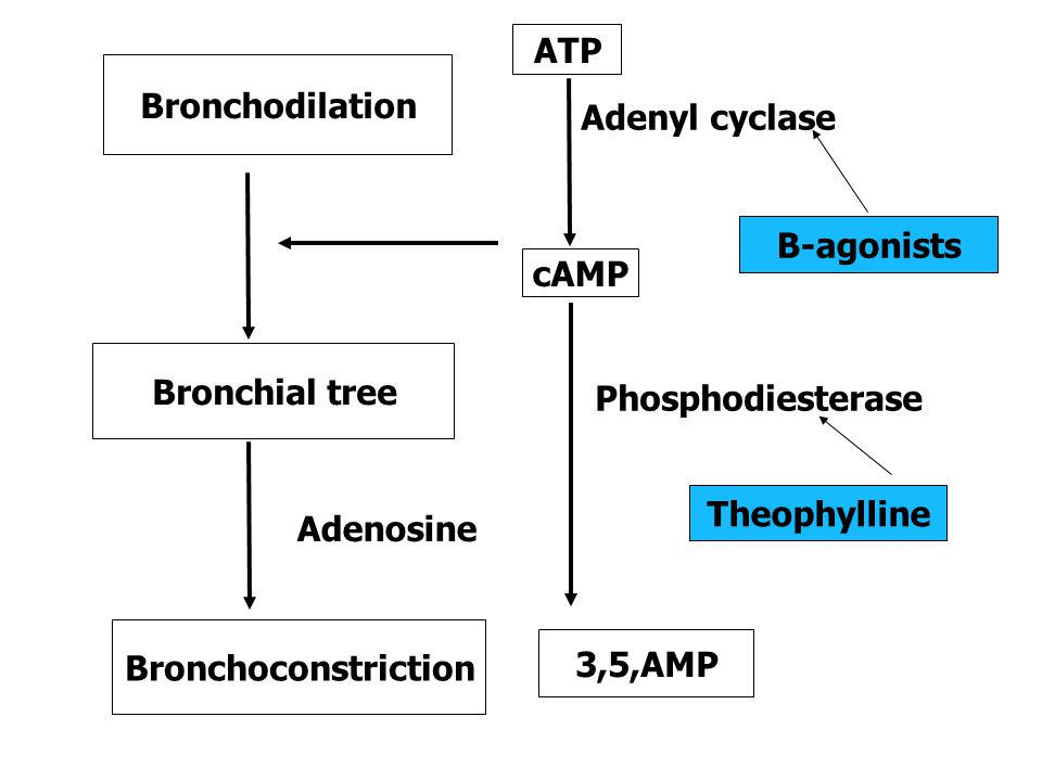 ATP Bronchodilation. Adenyl cyclase. B-agonists. cAMP. Bronchial tree. Phosphodiesterase. Theophylline.