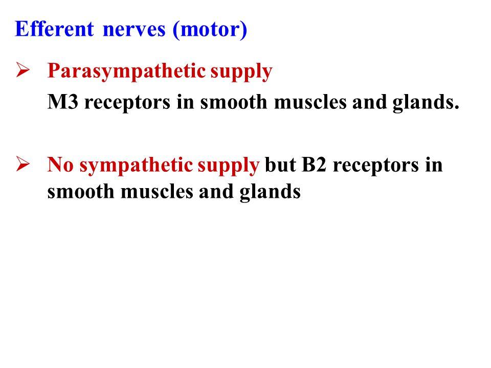 Efferent nerves (motor)