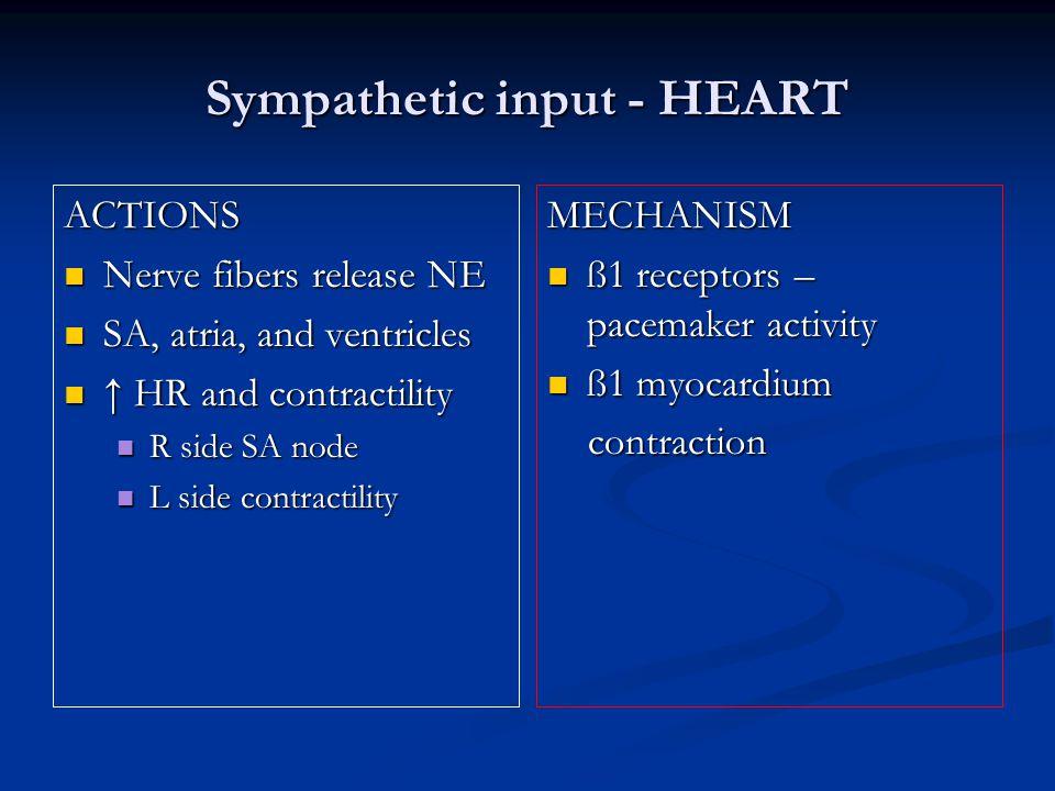 Sympathetic input - HEART