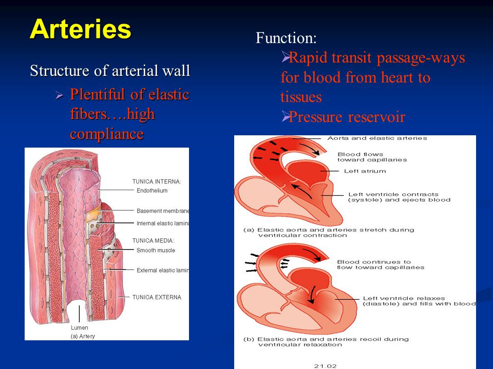 Arteries Function: Rapid transit passage-ways for blood from heart to tissues. Pressure reservoir.