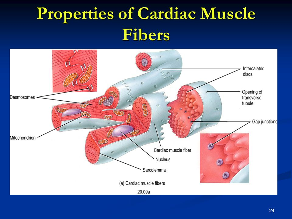 Properties of Cardiac Muscle Fibers