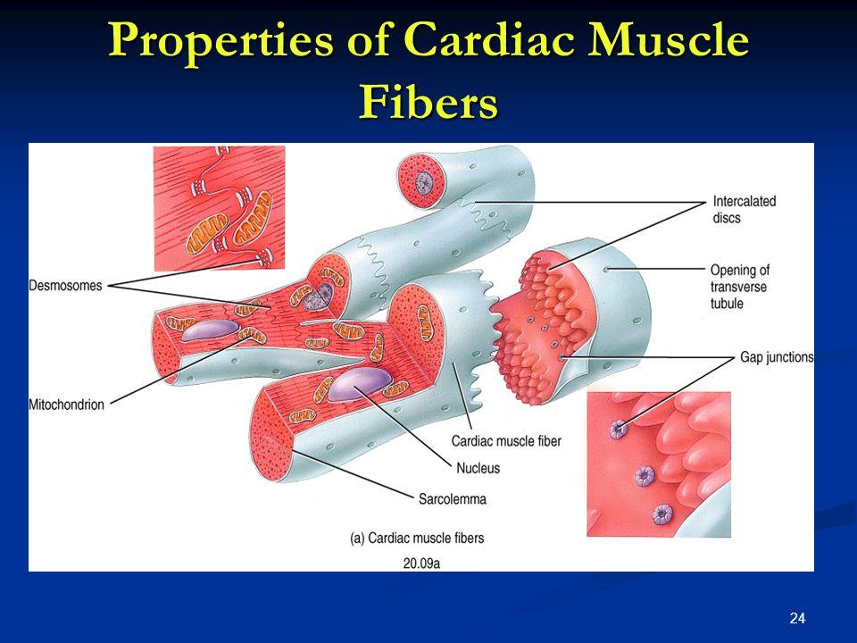 Properties of Cardiac Muscle Fibers