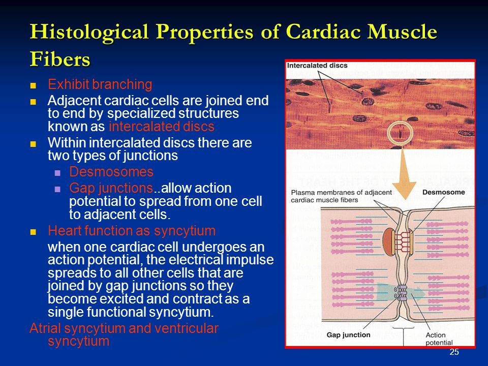 Histological Properties of Cardiac Muscle Fibers