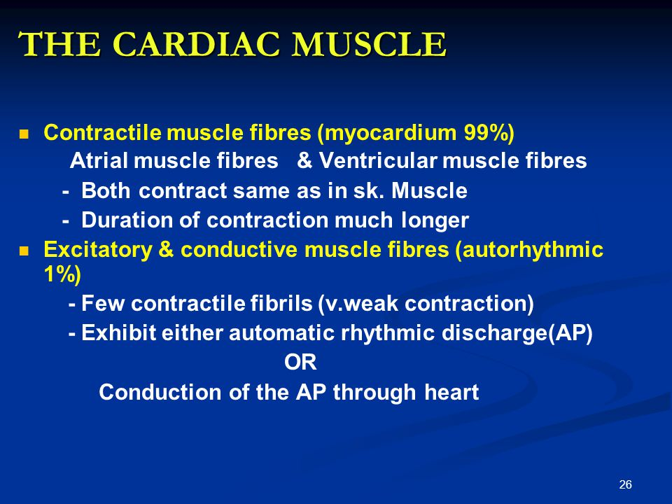 THE CARDIAC MUSCLE Contractile muscle fibres (myocardium 99%)