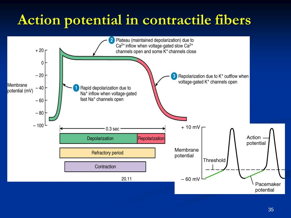 Action potential in contractile fibers