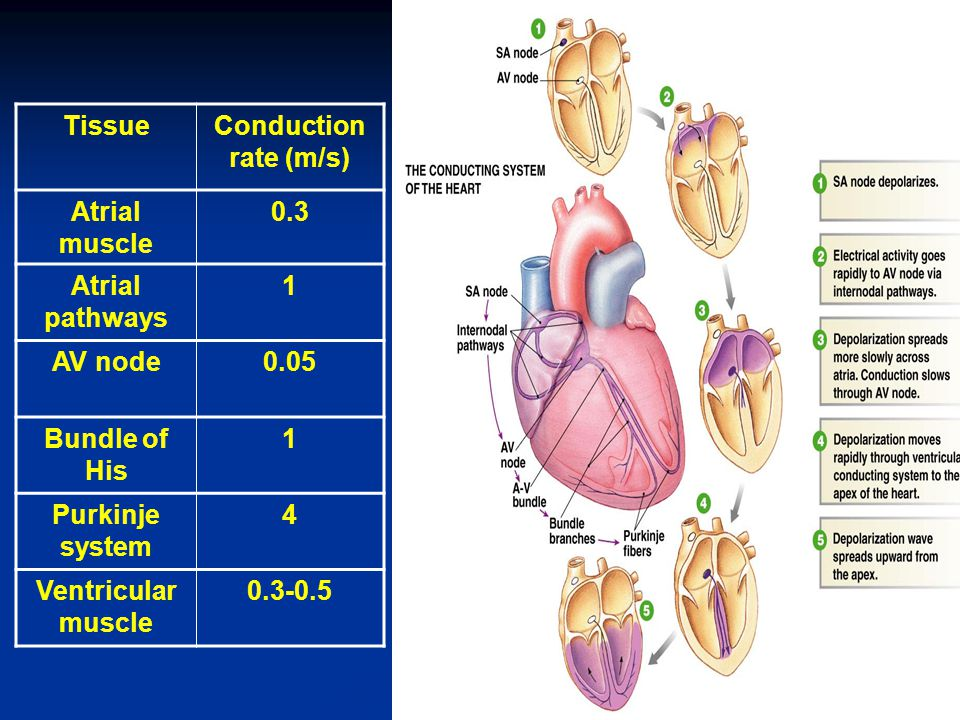 Tissue Conduction rate (m/s) Atrial muscle. 0.3. Atrial pathways. 1. AV node. 0.05. Bundle of His.