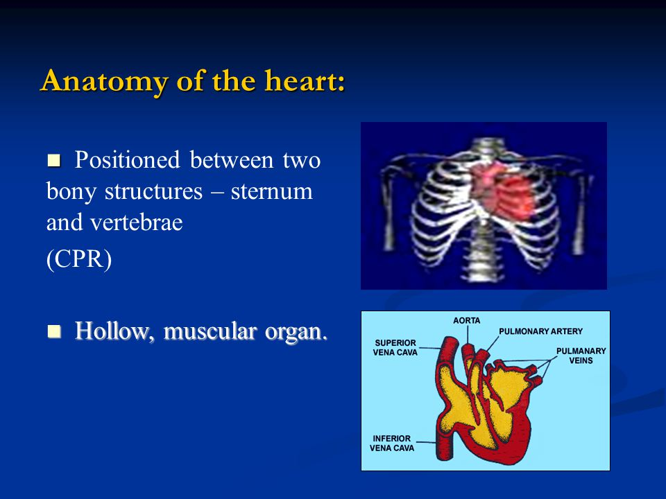 Anatomy of the heart: Positioned between two bony structures – sternum and vertebrae.