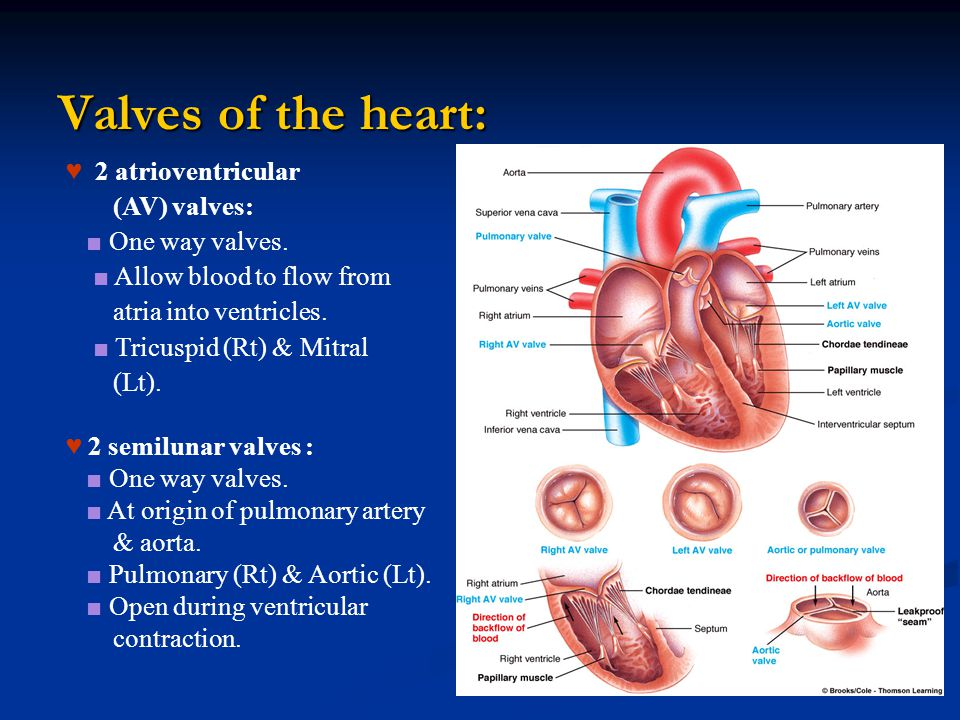 Valves of the heart: ♥ 2 atrioventricular (AV) valves: