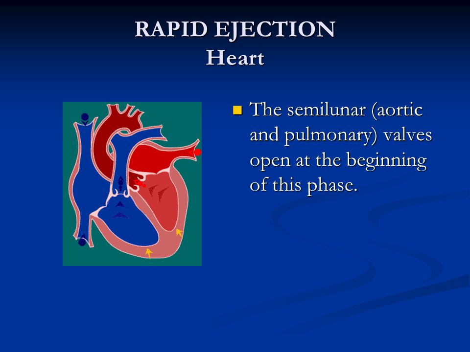 RAPID EJECTION Heart The semilunar (aortic and pulmonary) valves open at the beginning of this phase.